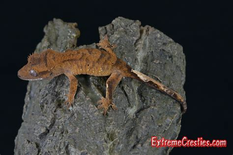 crested gecko shedding a lot cresties crested gecko babies available home