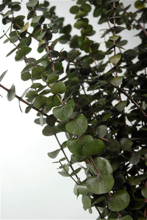 california eucalyptus  green branches natural