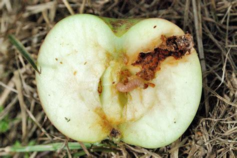 http://www.andermattbiocontrol.com/sites/pests/codling-moth.html