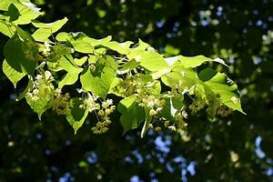 Linden Tree - Abundant Edible Leaves and Flowers - Eat The ...