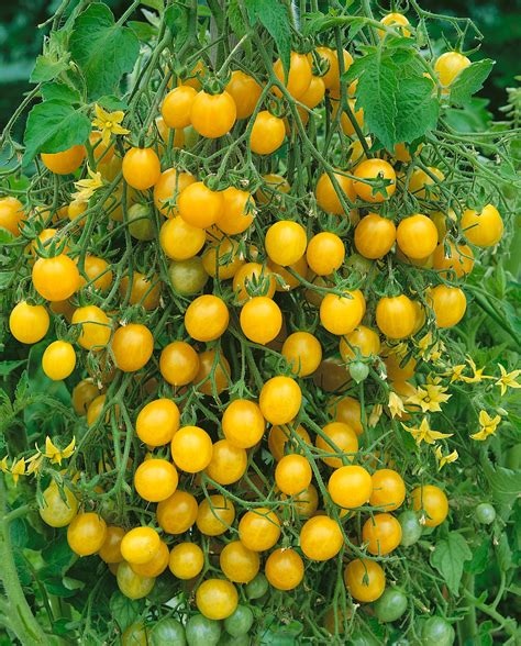 Your cherry plant tomatoes yellow stock images are ready. Lemon Drop F1 - Morgan County Seeds