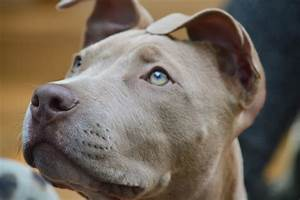 Why I Adopted a Pit Bull for My Kids | HuffPost  Pitbull