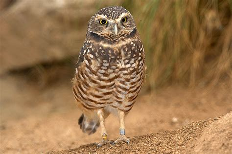 Burrowing Owl Facts, Habitat, Diet, Life Cycle, Baby, Pictures