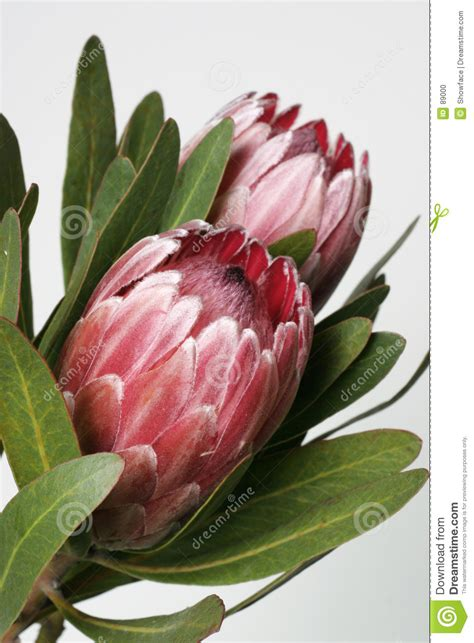 protea stock photo image  green colours summer
