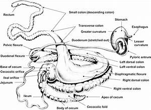 Isolated Stomach And Intestines Of The Horse   Sketched By