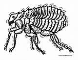 Flea Coloring Fleas Pages Colormegood Animals sketch template