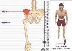 MSS - Anatomy (from getbodysmart) #5 flashcards | Quizlet