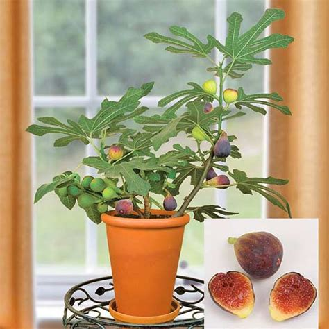 fig trees in pots 10 plants that grow surprisingly well in containers