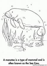 Manatee Coloring Pages Cow Manatees Sea Adult Animal Books Dementia Drawings Grade Alzheimers Drawing 3rd Sheets Printable Sketchite Template Sketch sketch template