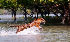 Dhaka, July 27 (newsnature) – The tiger population in Bangladesh ... Ketoprofen