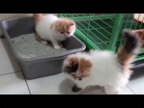 anak kucing persia belajar pup youtube