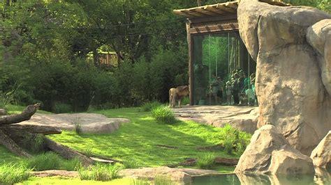 africa  lion exhibit cincinnati zoo youtube