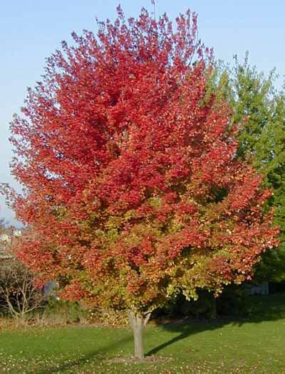 names of maple trees bear creek nursery common tree names plant images m z