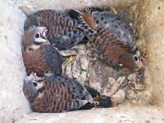 american kestrels nest box placement