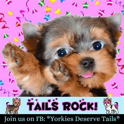 Dogs Yorkie Tail Morkie Yorkies Docking Animals
