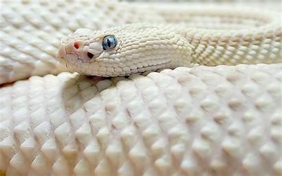 Anaconda Pets Wallpapers Snake Albino Snakes Pink