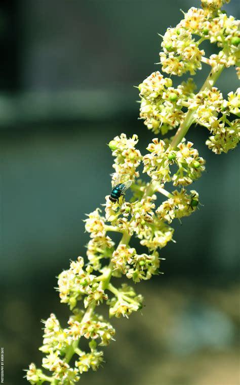 hiren daves  world  art flower  mango tree