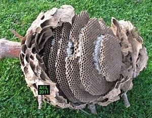 Essaim De Frelon : le frelon asiatique vespa velutina biologie ~ Melissatoandfro.com Idées de Décoration