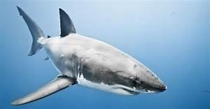 Animales en peligro de extinción: tiburón blanco :: Imágenes y fotos