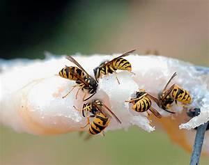 Was Essen Wespen : was essen die wespen und m gen sie fleisch ~ Frokenaadalensverden.com Haus und Dekorationen