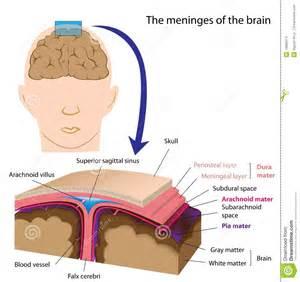 Spermatozoïdes Durée De Vie by Meninges Of The Brain Stock Images Image 19885574