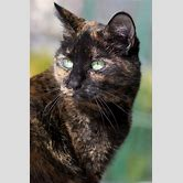 tortoiseshell-cat-with-blue-eyes