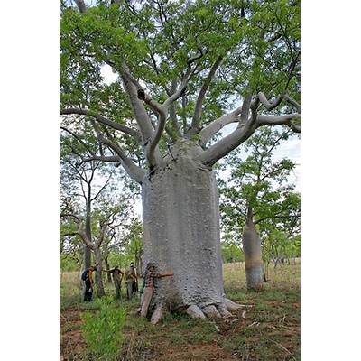 Majestic Boab Trees of Northern Australia - a gallery on