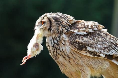 Do Barn Owls Eat Cats by Barn Owl