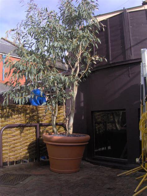 eucalyptus in a pot sos gardens landscaping maintenance