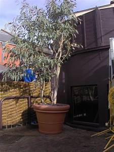 Eucalyptus En Pot : eucalyptus en pot eucalyptus gunnii france bleu rengun ~ Melissatoandfro.com Idées de Décoration