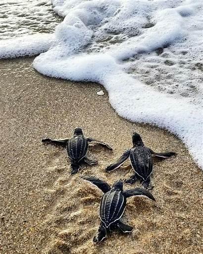 Turtles Save Sea Turtle Leatherback Wallpapers Animals