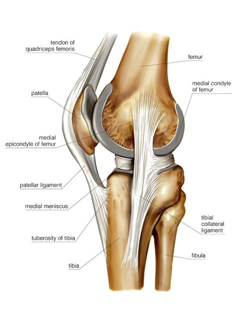 knee joint photograph  asklepios medical atlas