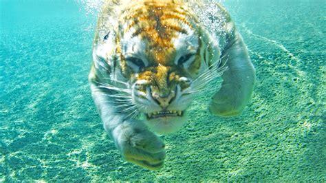 Water Animal Wallpaper - animals tiger underwater wallpapers hd desktop and