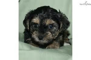 Cute Yorkie Poo Puppies