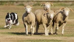 Border collies aren't sheepish about shepherding - The ...