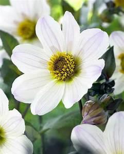 Pflanzen Im Mai : 09437 bishop of dover bl ht 6 10 bis 90 cm hoch pflanzen im mai staudenbeete pinterest ~ Buech-reservation.com Haus und Dekorationen