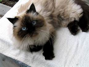himalayan cats for himalayan cat top collections
