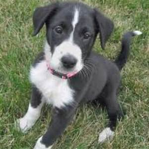 The dog i want!! A Border collie/Boxer mix! | love ...