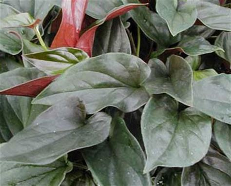 syngonium erythrophyllum glasshouse works