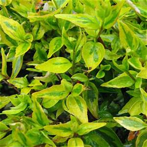 Abelia Grandiflora Kaleidoscope : buy abelia online order abelia online abelia shrubs ~ Melissatoandfro.com Idées de Décoration