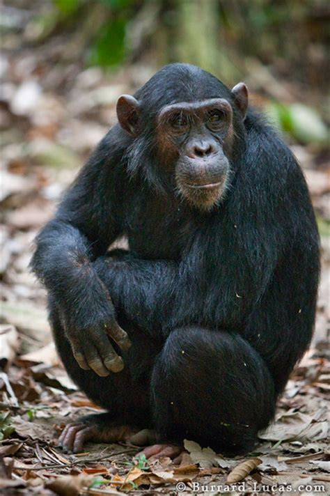 sitting chimp burrard lucas photography