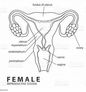 Female Reproductive System Stock Vector Art  U0026 More Images