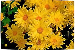 Yellow Chrysanthemum Flowers 1 Photograph by Johnson Moya