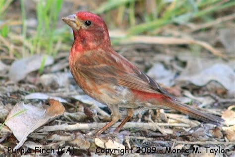 finches rosy finches crossbills siskin goldfinch