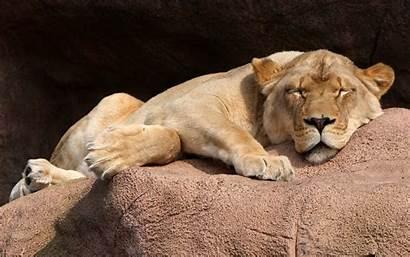 Lion Sleeping Animals Wallpapers Desktop Mobile Backgrounds
