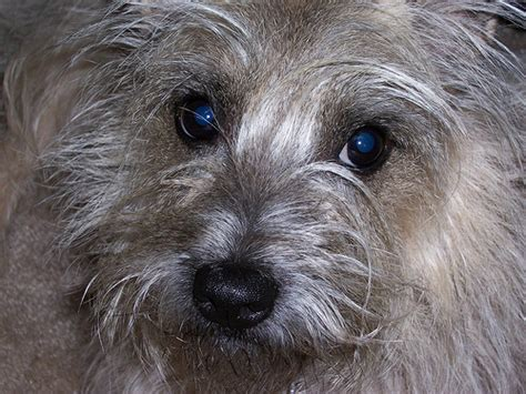 what does cairn cairn terrier definition meaning