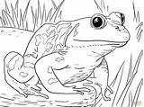 Coloring Frog Printable Designs Bullfrog Above Challenge American sketch template