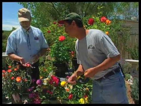 how to trim roses in summer how to prune roses in the summer youtube