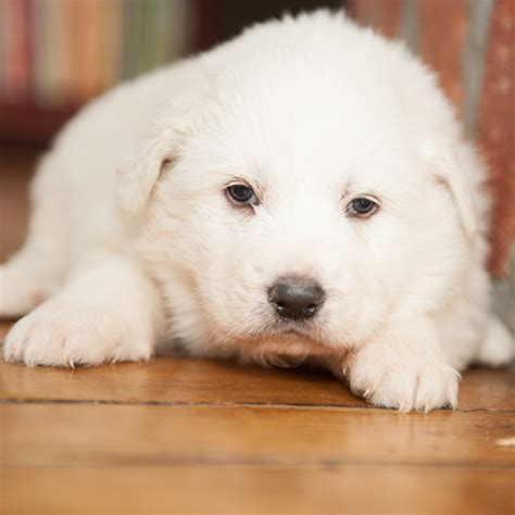 great pyrenees non shedding 100 great pyrenees non shedding should you or