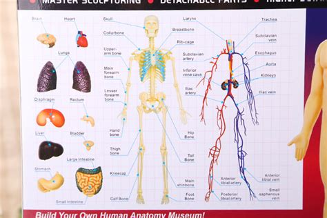 new 4d puzzle human anatomy 3d transparent skeleton torso organ ebay